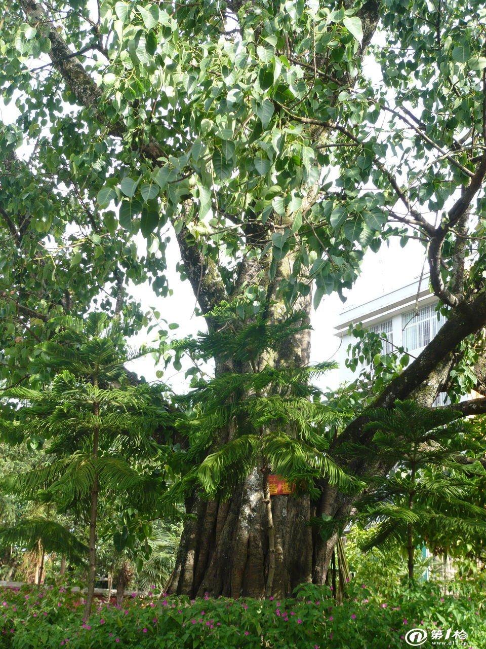 年),印度僧人智药三藏从西竺引种菩提树于广州光孝寺坛前.