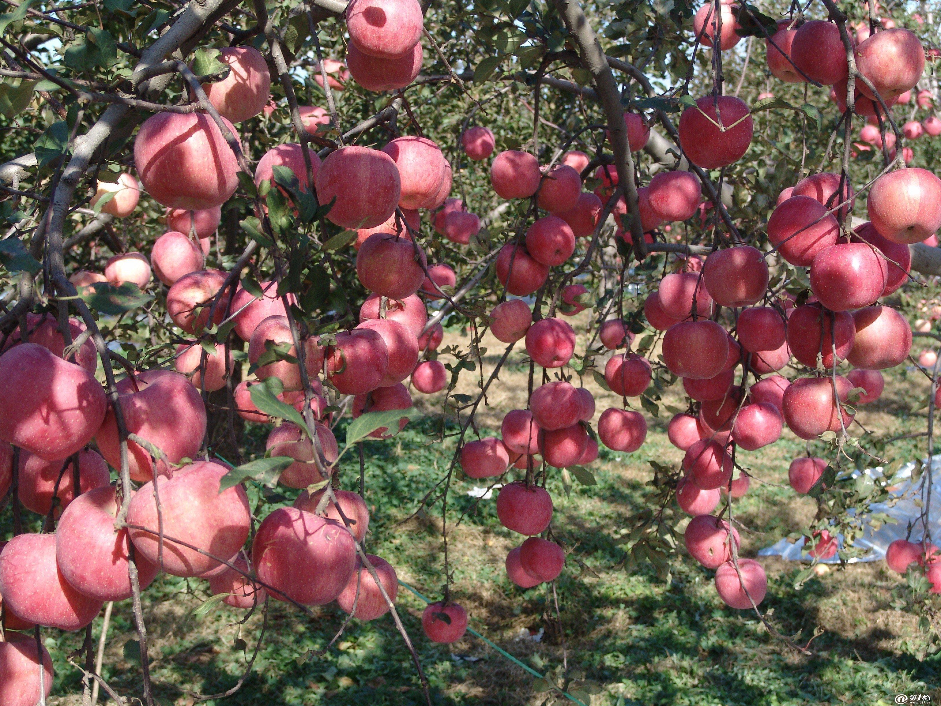 全国包邮! 桃树葡萄油桃苹果反光膜 果树反光膜 厂家 价格 河北