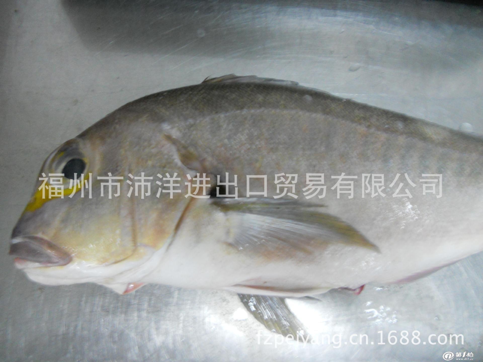 墨西哥进口稀缺品种马头鱼(yellow eye)